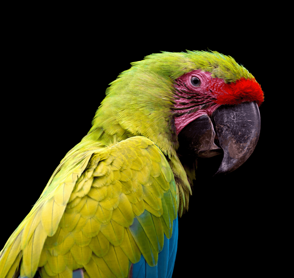 Parrot-3.png