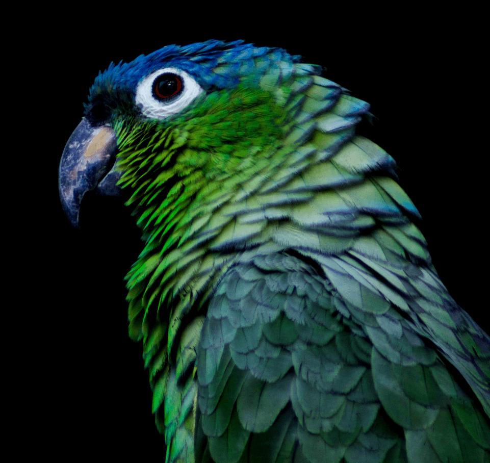 Parrot-5.png